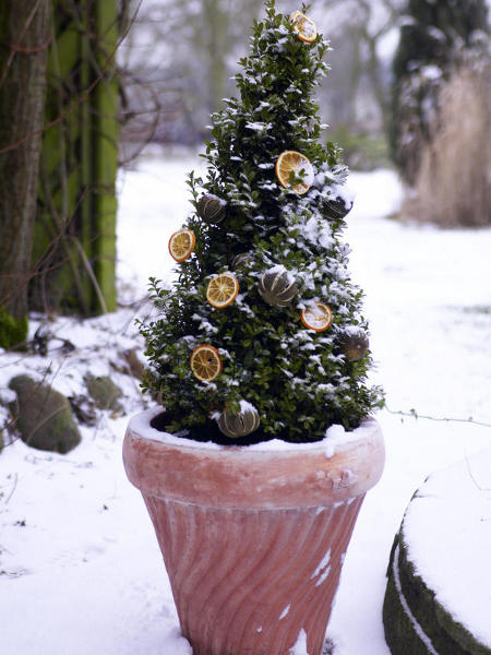 outdoor-christmas-decoration-boxwood-tree-dried-orange-slices